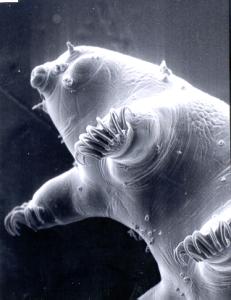 tardigrade_3